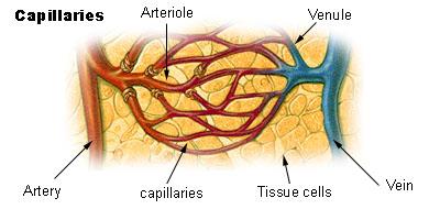 external image capillaries.jpg
