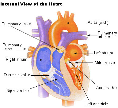 physiology of the heart The heart muscle is remarkable at an average heart rate of 70 beats min−1, the  heart needs to contract and relax more than 100 000 times a.