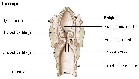 Adam anatomy free